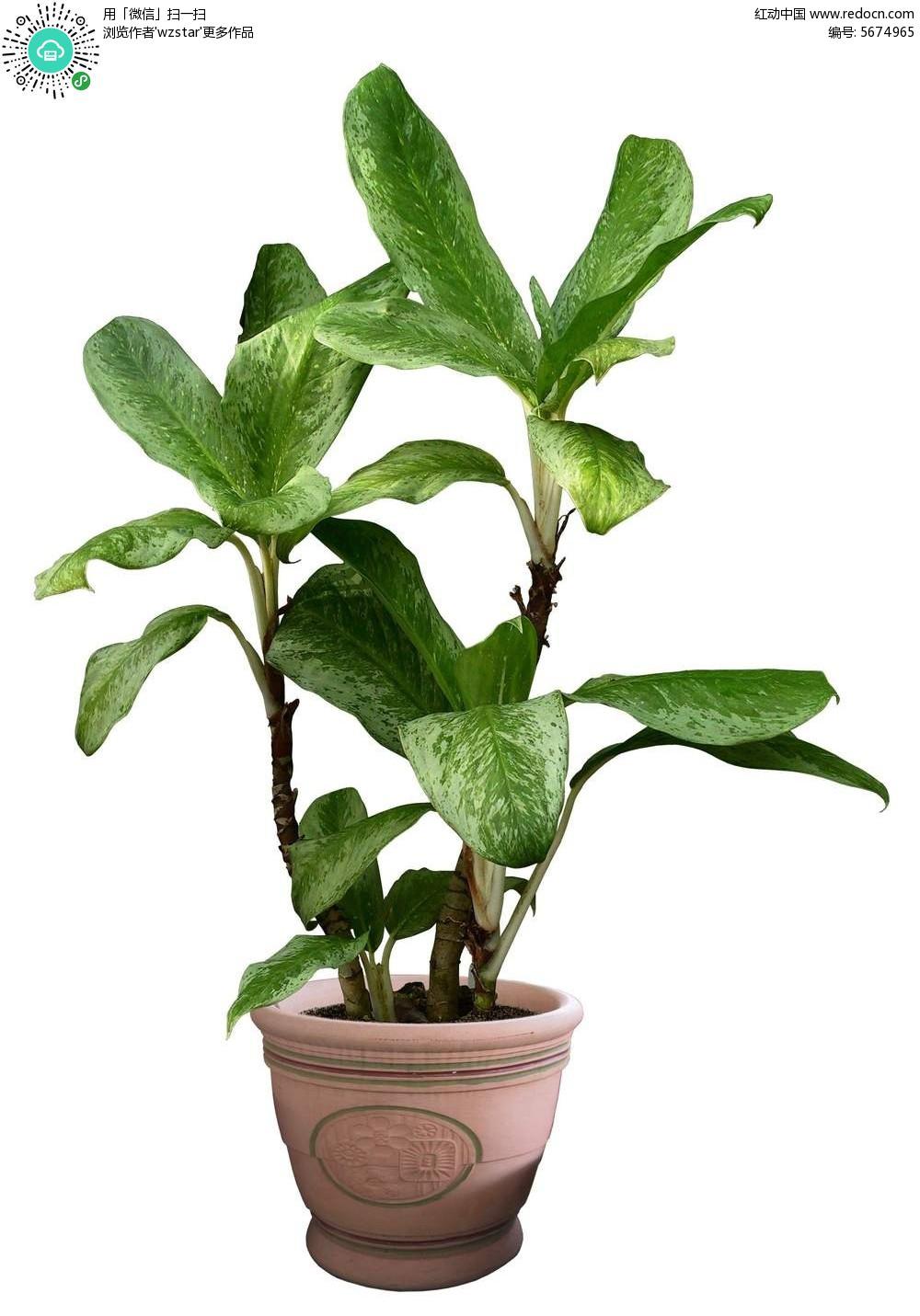 美丽 绿叶 花盆 盆栽 绿树 景观植物 盆景植物 psd分层素材  花草