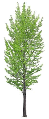 树枝繁多的绿色树木PSD素材