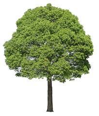 一棵樟树psd素材