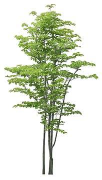 枝繁叶茂的小树PSD素材