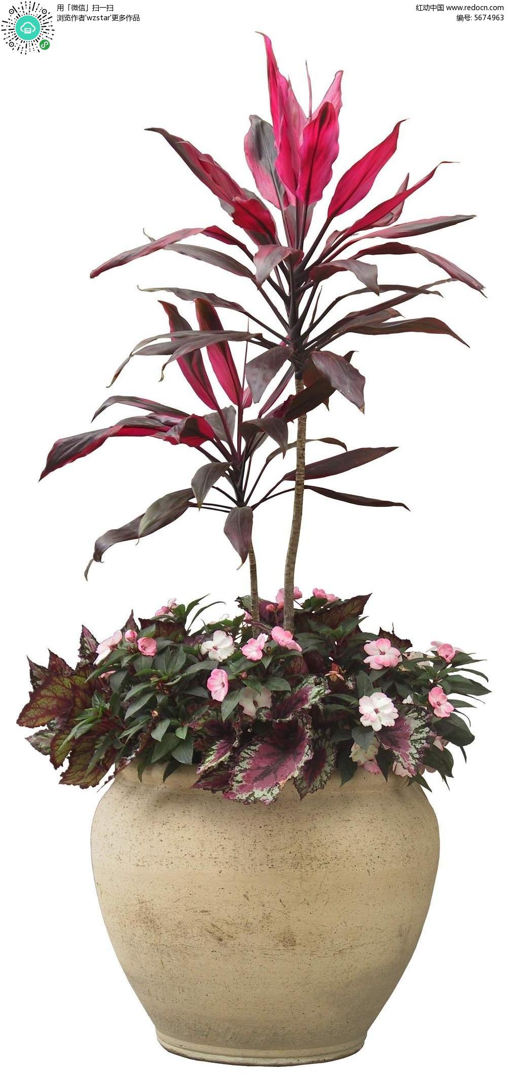 紫色叶植物盆栽psd素材