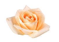 白底免抠大玫瑰