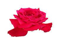 白底红玫瑰