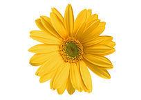 白底太阳花