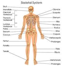 超高清骨骼系统矢量图