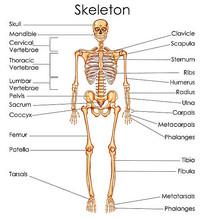 超高清人体全身骨骼 矢量图