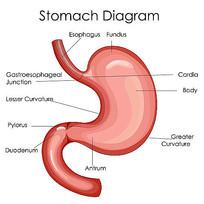 超高清胃部矢量图