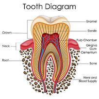 超高清牙齿解剖矢量图