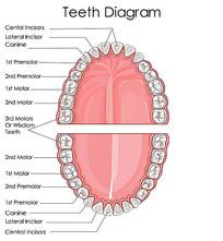 超高清牙齿矢量图