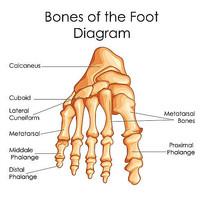 超高清趾骨骨骼矢量图
