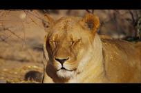 狮子眨眼4K视频