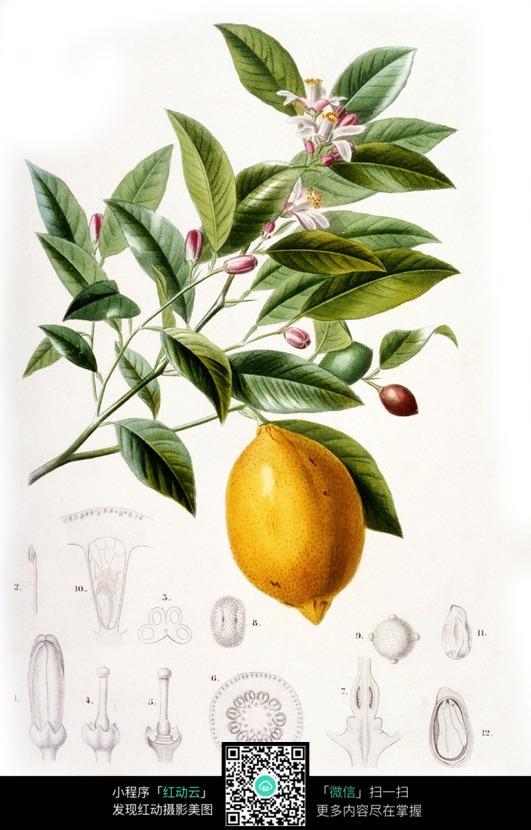 免费flash网站模板_手绘柠檬树图片免费下载_红动中国
