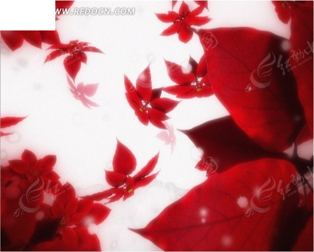 雪中飘下的一品红圣诞花