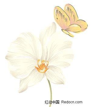 手绘白色蝴蝶兰与黄蝴蝶图片