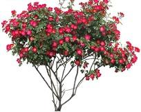 长有红色花朵的小树摄影照片