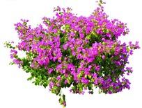 盛开的紫色三角梅抠图素材