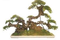 艺术造型树木盆景抠图素材