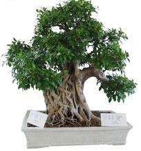 榕树艺术造型树桩盆景抠图素材