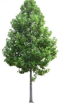 苍翠挺拔的树木PSD抠图素材