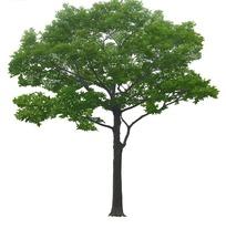 枝繁叶茂的树木PSD抠图素材