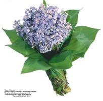 一束绿叶中的淡紫色小野菊抠图素材