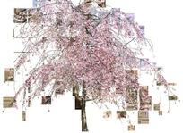 日本樱花树透明PNG格式