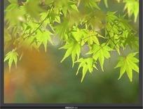 植物视频 飘动的青绿色枫叶和转红色的枫叶