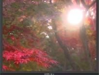 耀眼阳光照射下的枫叶