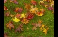 地上的一片漂亮枫叶