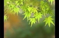 飘动的青绿色枫叶和转红色的枫叶