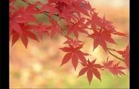 如画的红色枫叶