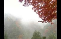 云雾缭绕下的枫树