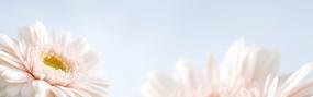白色的菊花淘宝店招背景